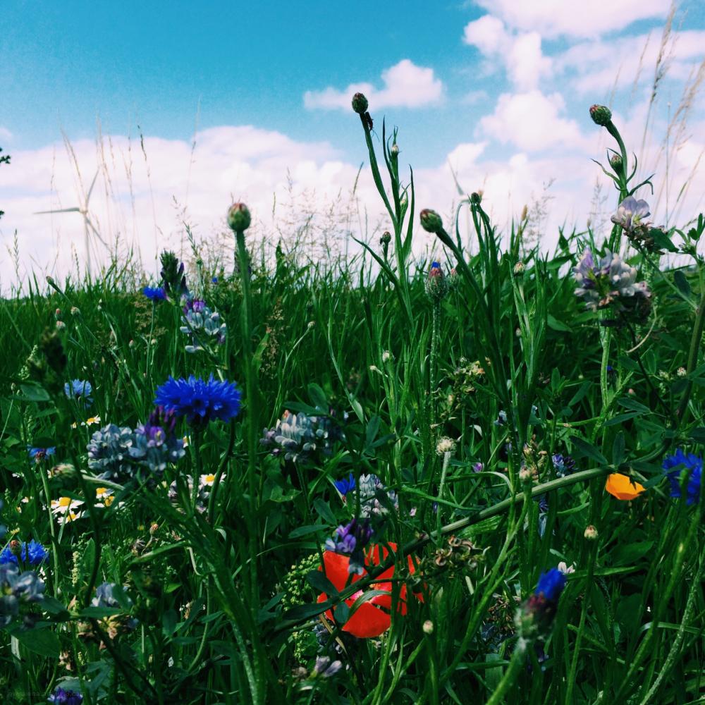 wild flowers berm bloemen korenbloemen juli