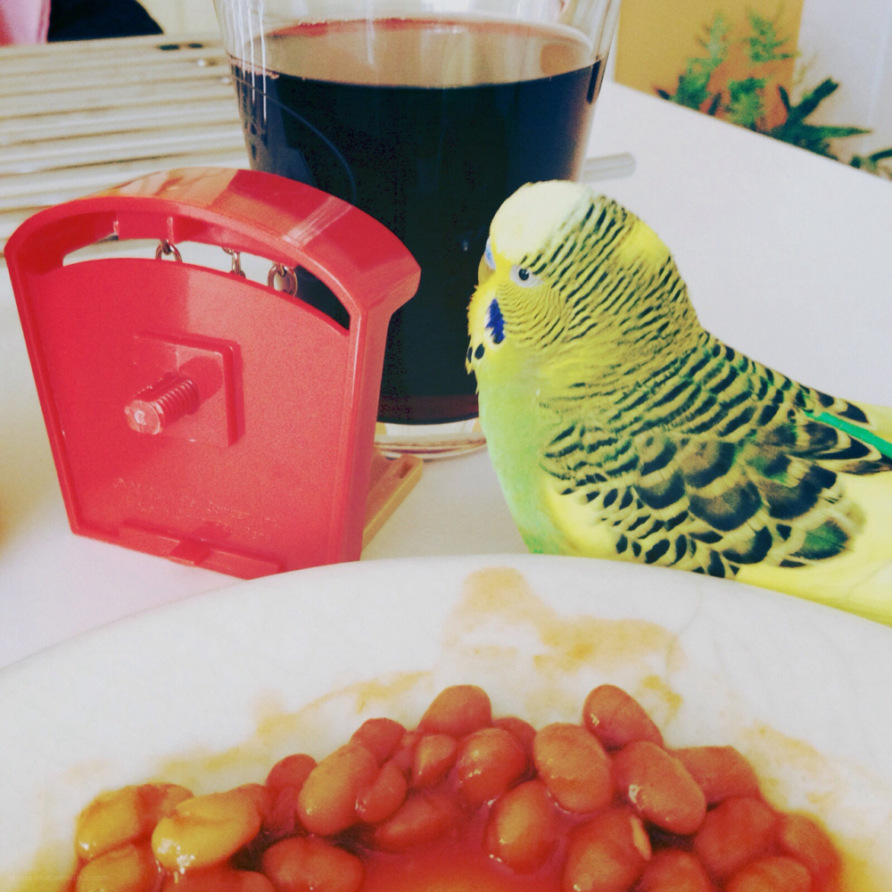 breakfast budgie