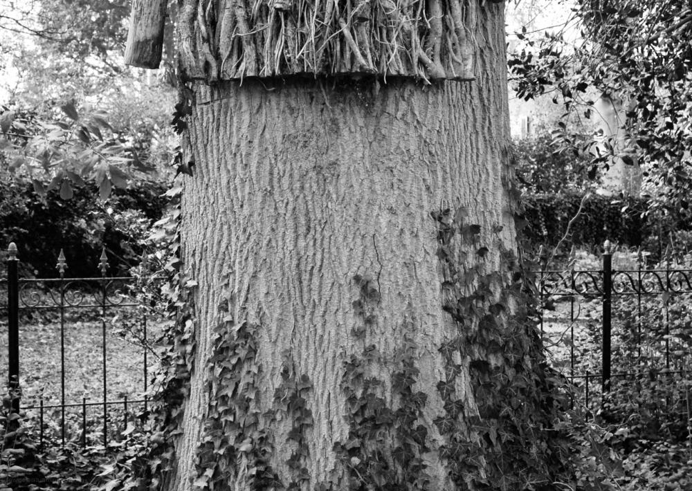 tree boom klimop ivy