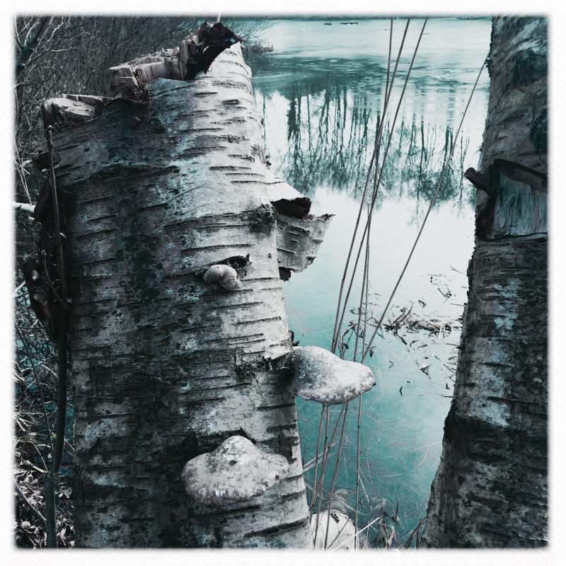 berk afgraving birch berkenzwam fungus meer lake