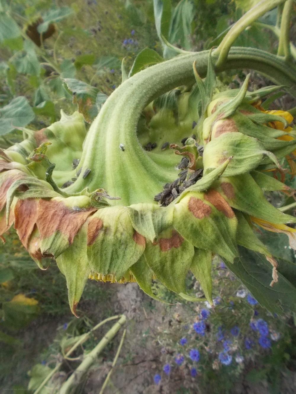 Sunflower zonnebloem