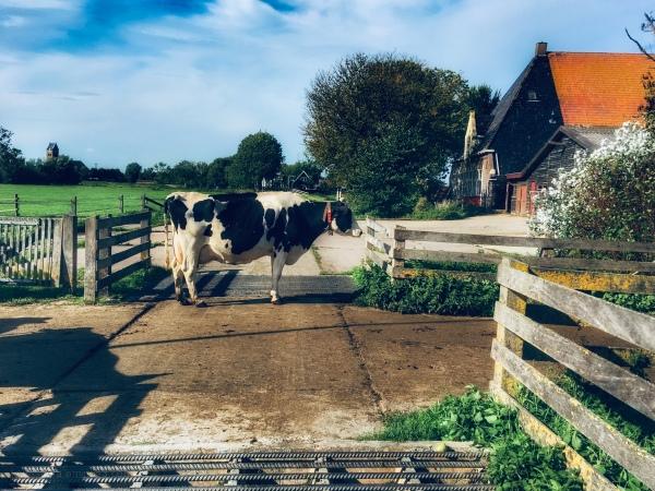 Koe cow