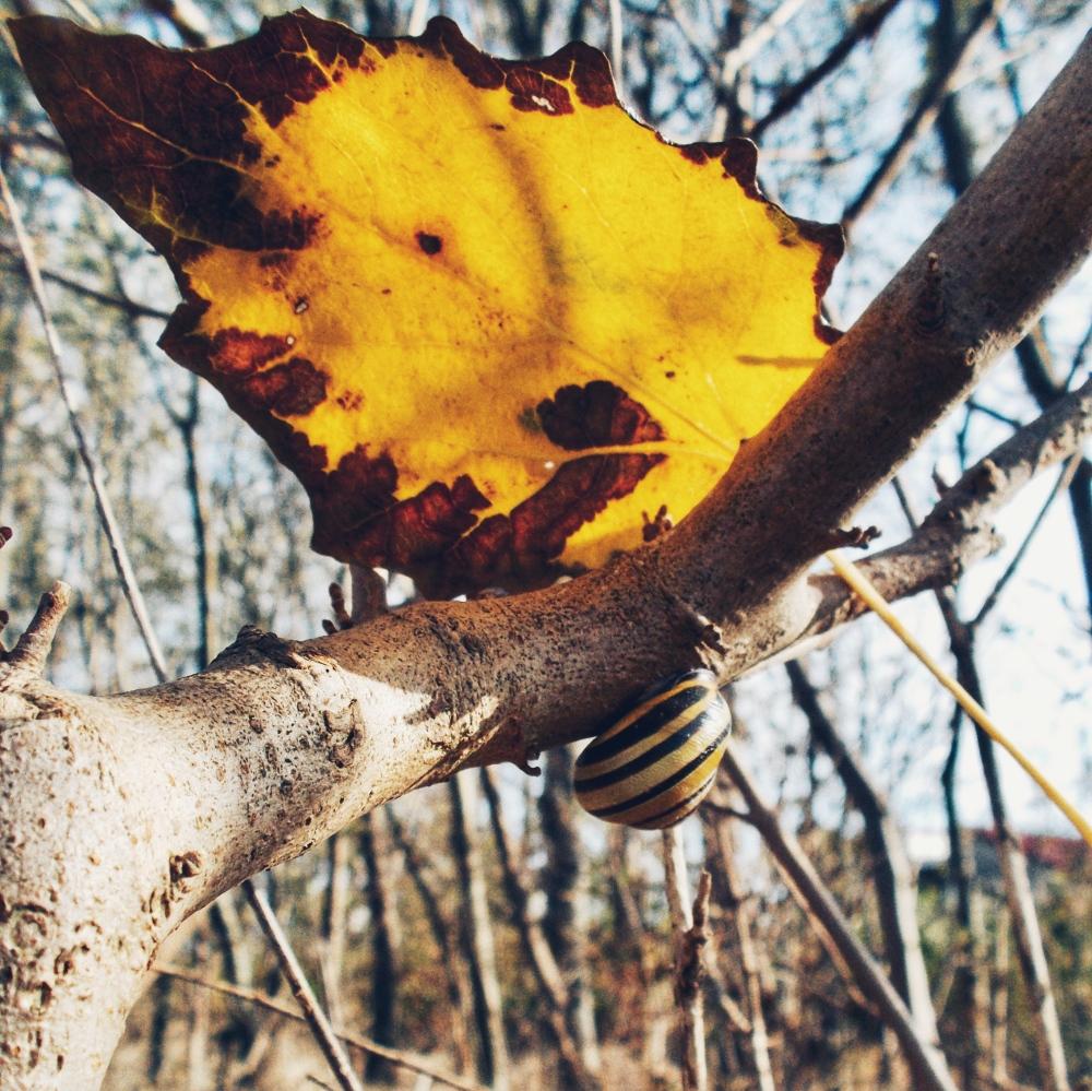 Leaf snail blad slak