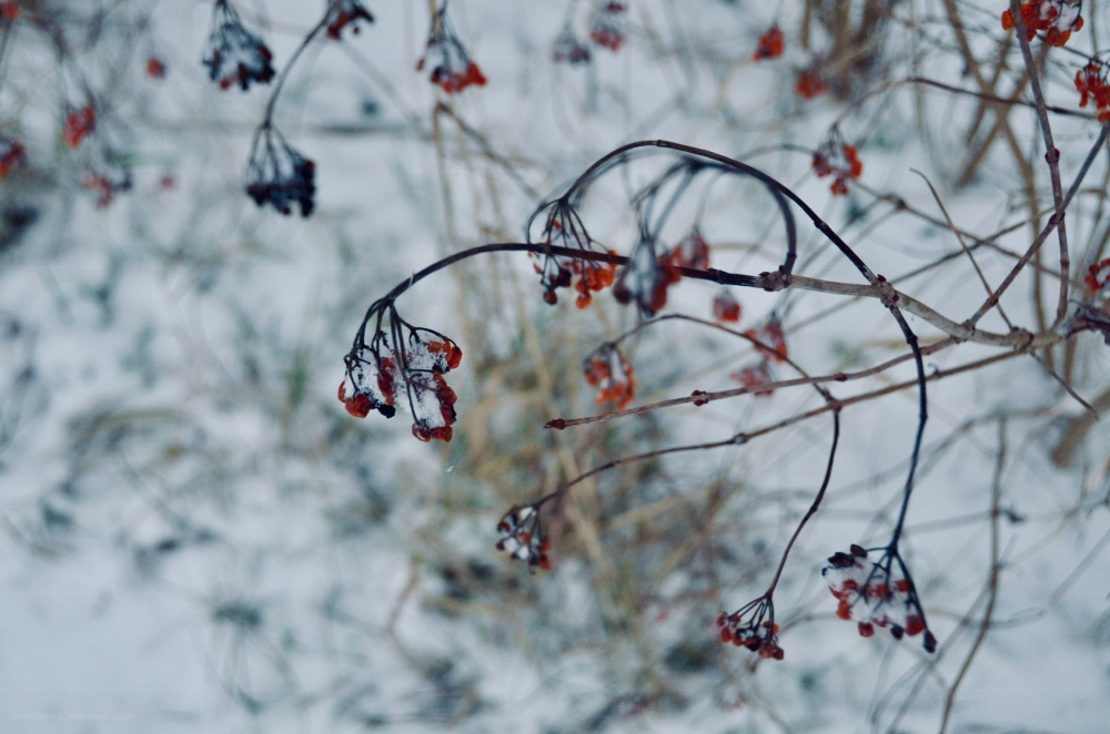 Berries besjes snow sneeuw