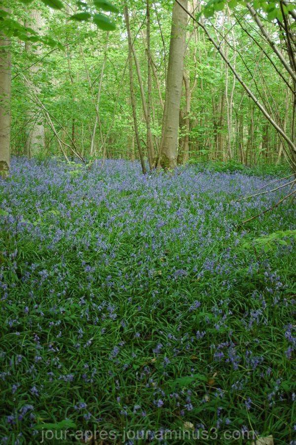 Tapis de jacynthes bleues