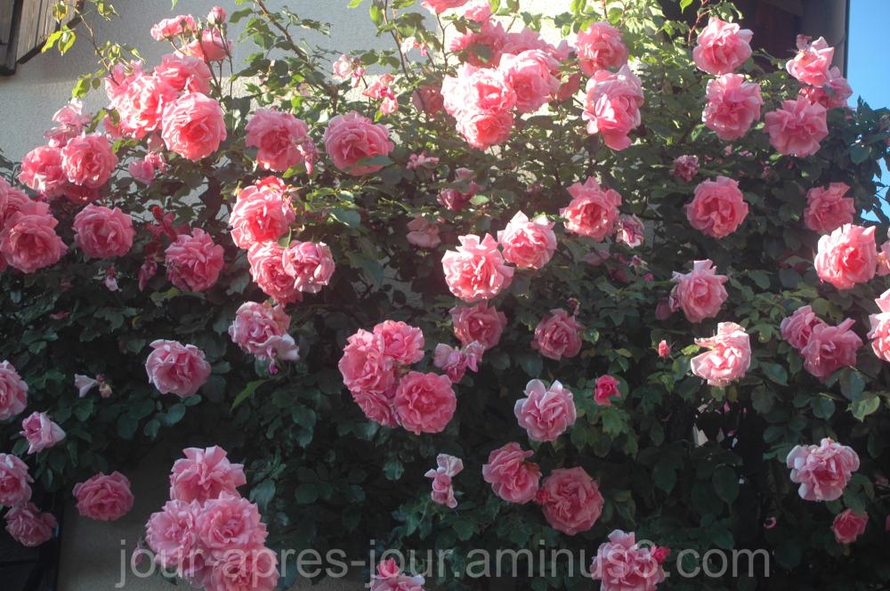 Le rosier de maman.