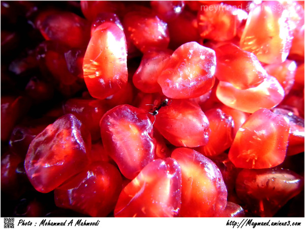 Pomegranate in Winter and Ant 2