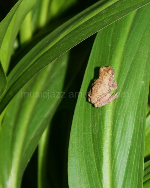 Little frog comes out at night and enjoys my hosta