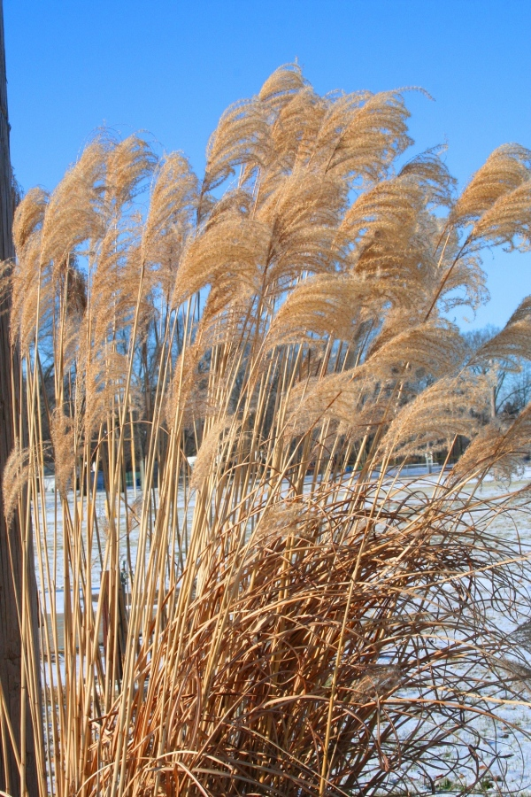 These grasses ...