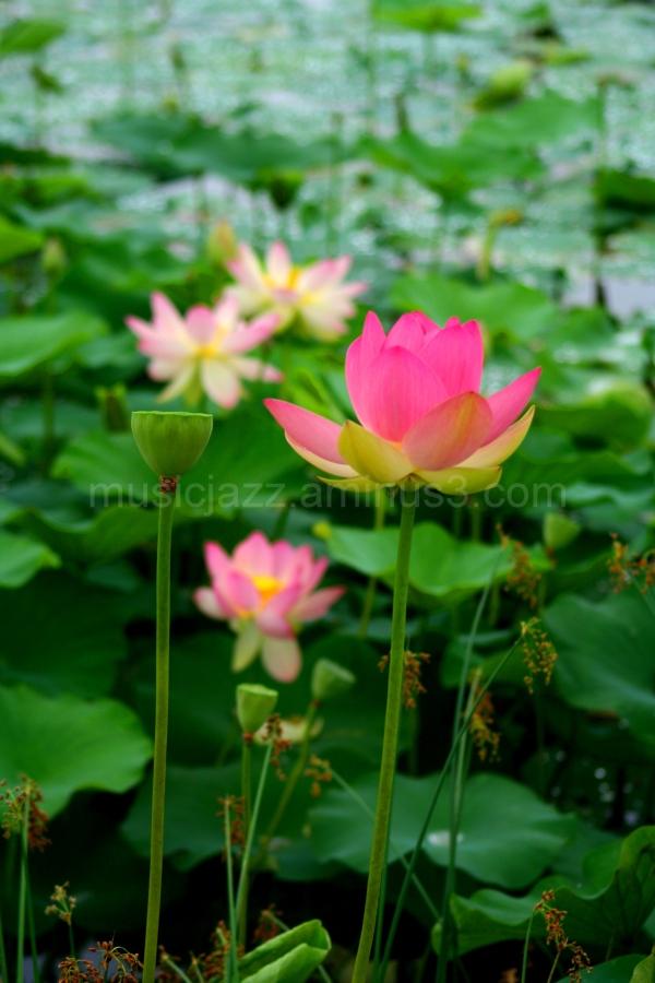 Lillies abound