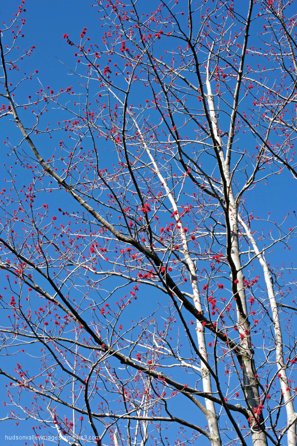 Spring Tree Budding