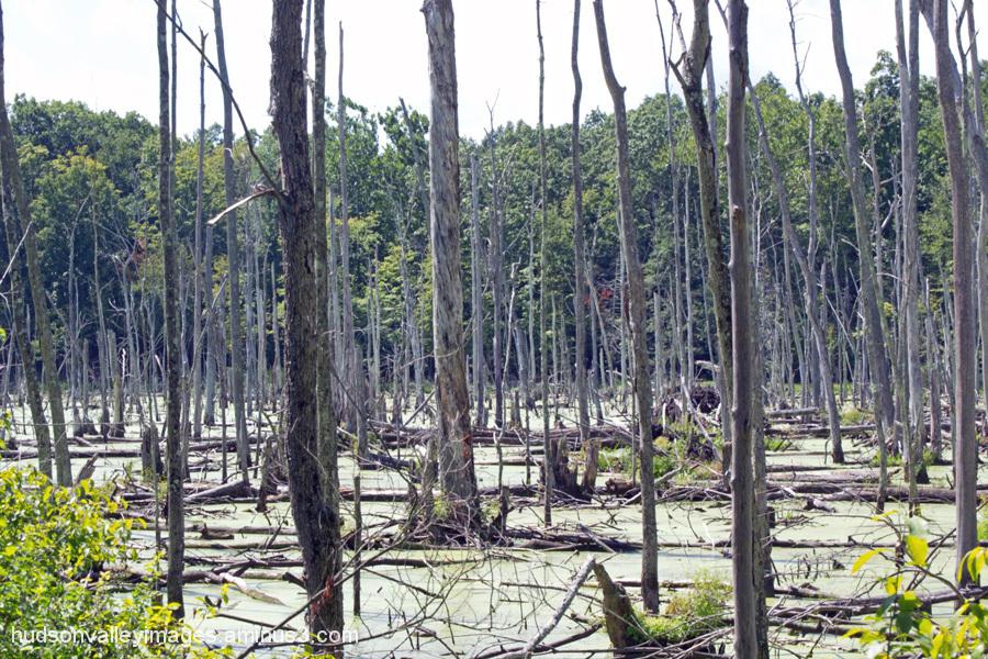 Weston Swamp