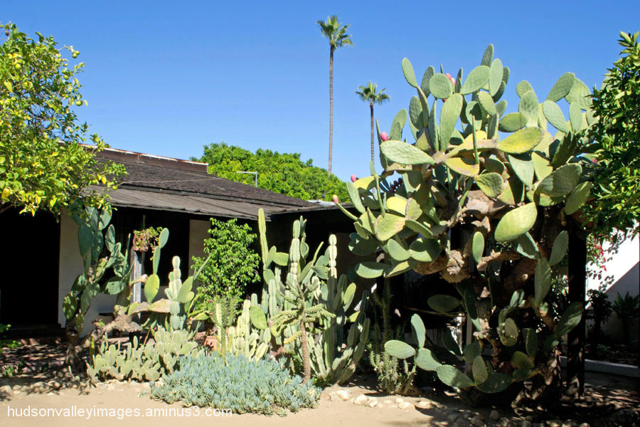 Courtyard Cactus