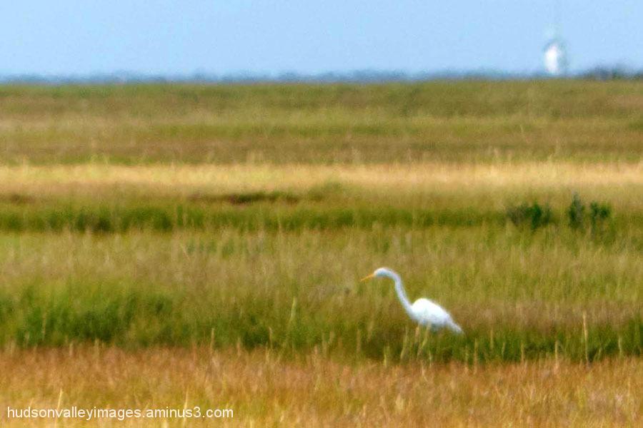 Marsh Heron