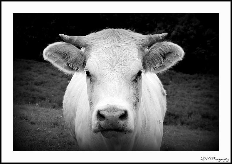 Vache !