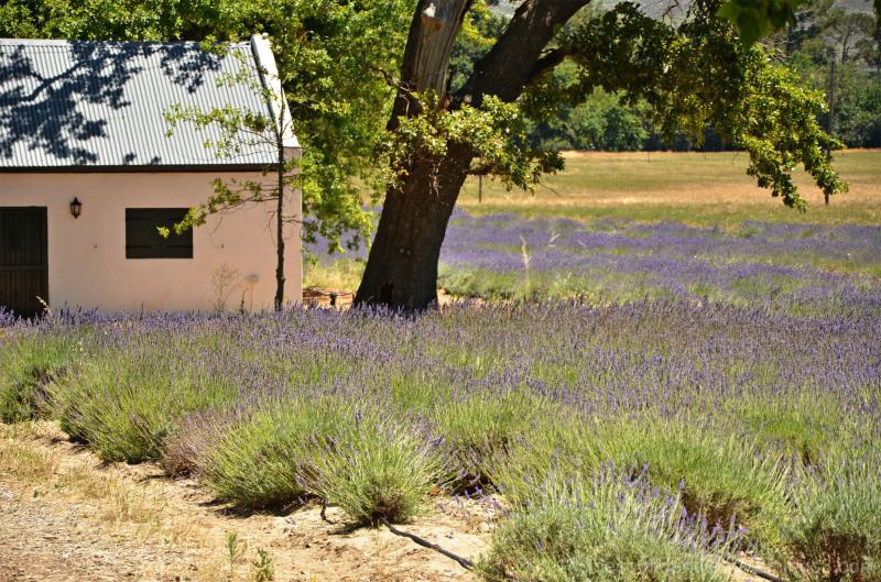Cape town lavender