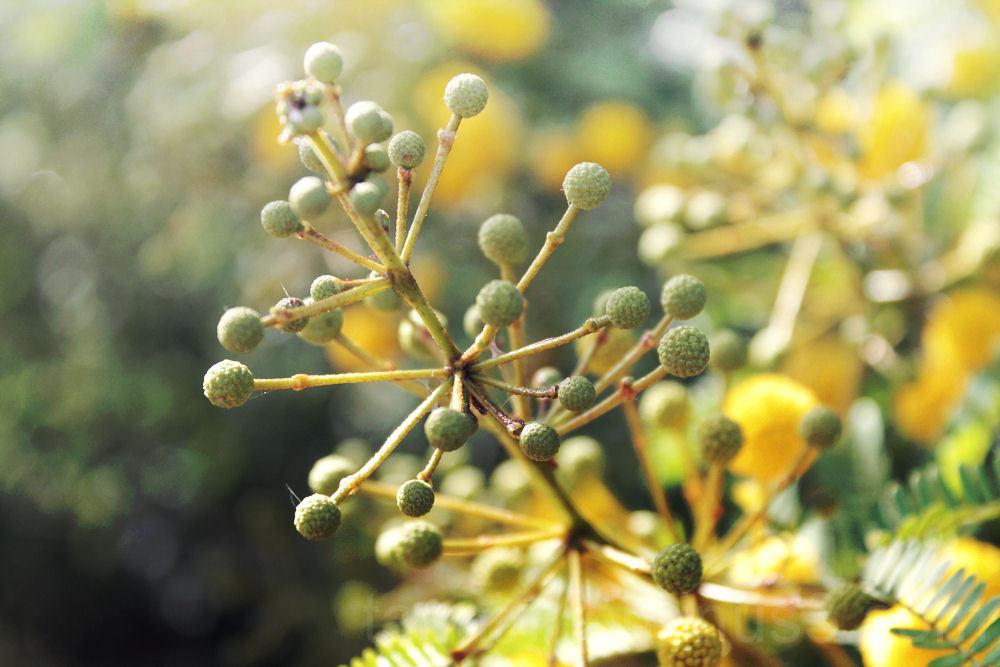 yellow mimosa