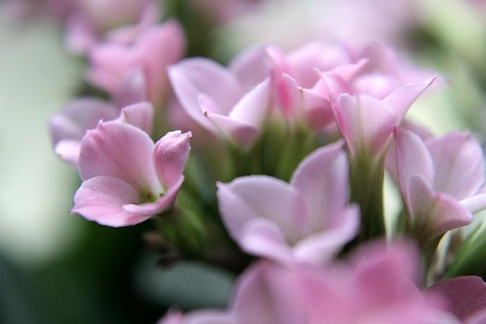 small pink flowers macro