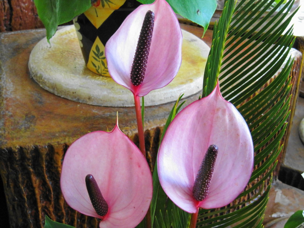 flower anthurium pink nature