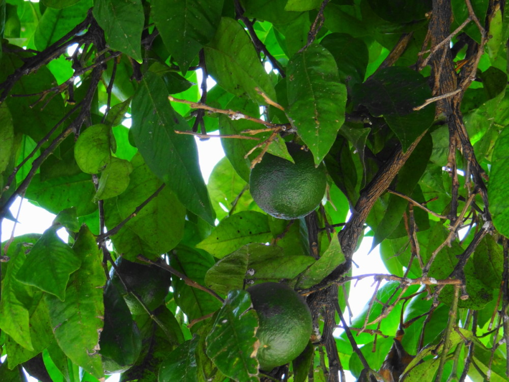 green oranges shahsavar tonekabon