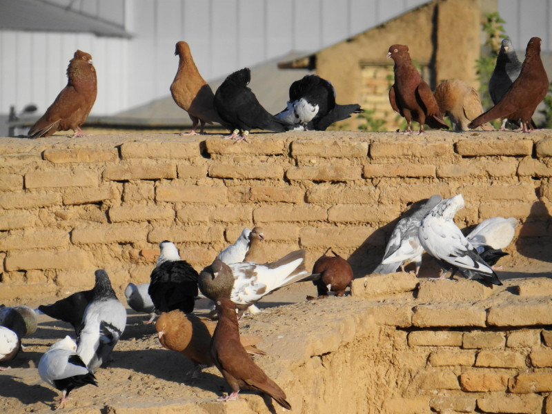 Pigeons roof shiraz iran