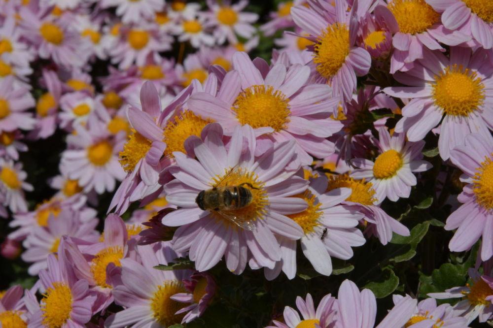 iran mahallat flower محلات پرورش گل