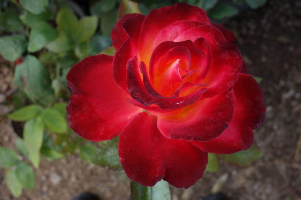 rose birthday محمد رسول الله