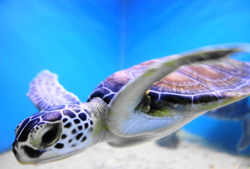 qeshm island persian-gulf turtle