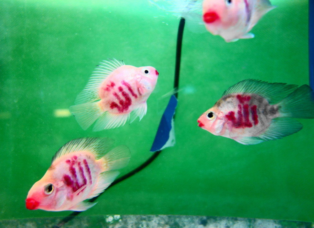 qeshm island persian-gulf fish