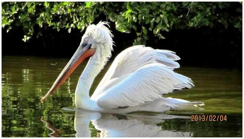 Pretty pelicans