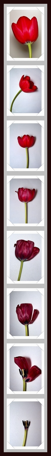 My tulip from time to time.