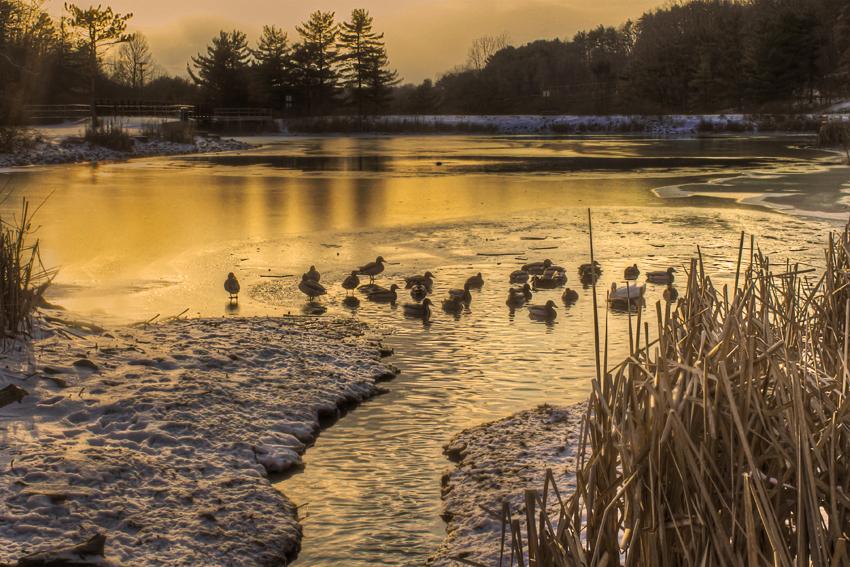Ducks at Freezing Lake