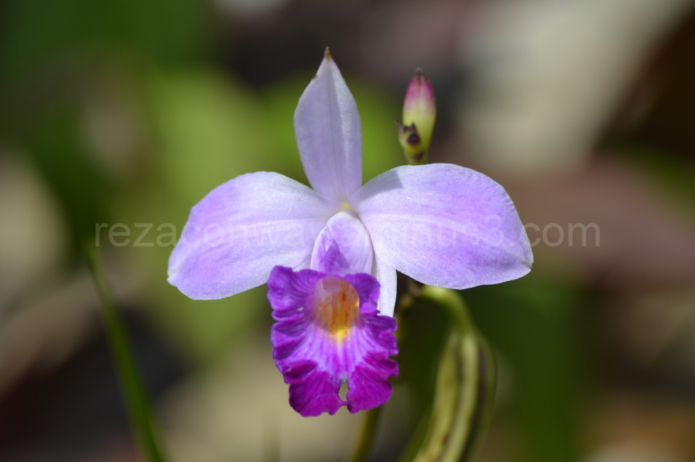 Local Orchid