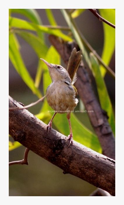 Common Tailor Bird - 2
