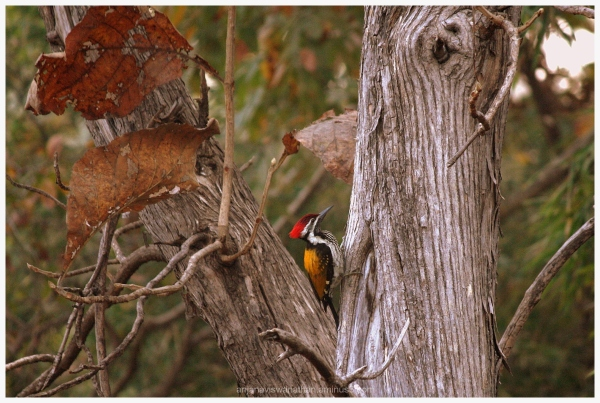 woodpecker black rumped flameback