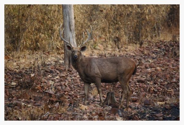 Male Sambar Deer