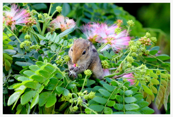 Indian palm squirrel eating flowers