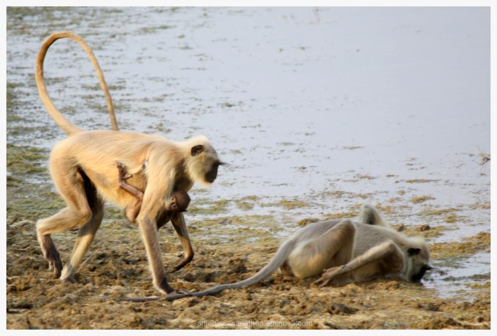 Hanuman Langur Grey Langur Monkey Monkeys