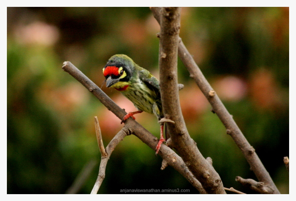 copper smith barbet