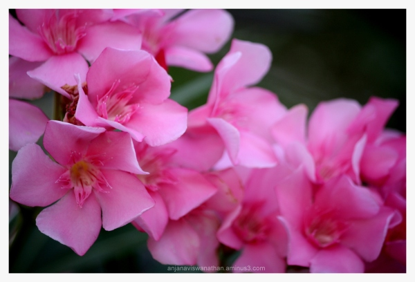 pink blossoms