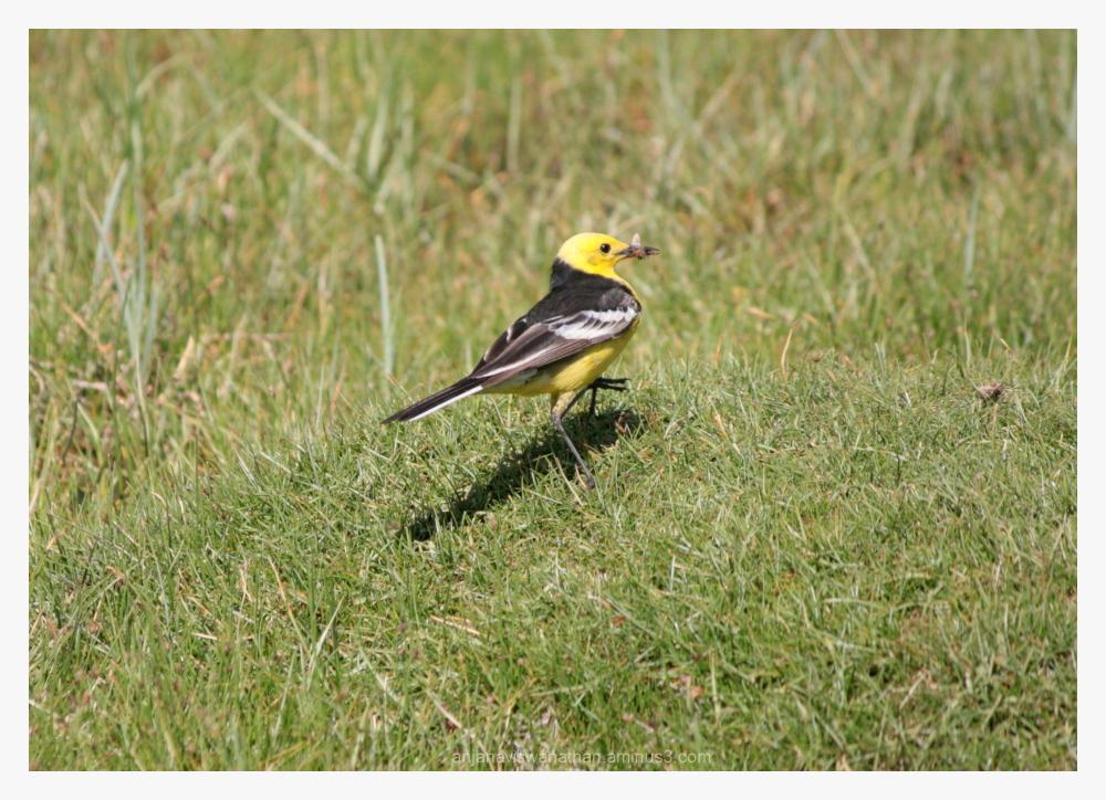 citrine wagtail bird birds
