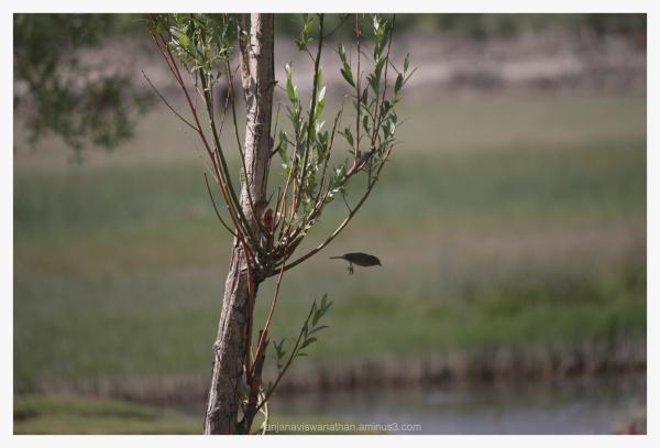 bird birds Ladakh India