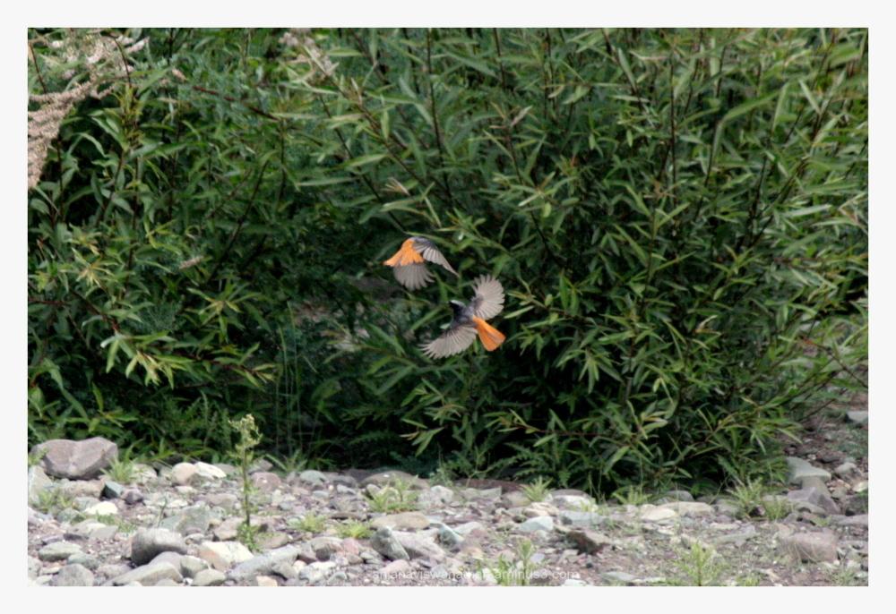 rufous tailed redstart bird birds Ladakh India