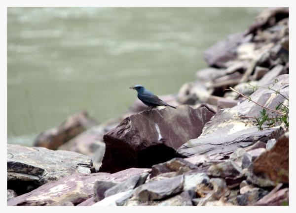 bird birds blue rock thrush