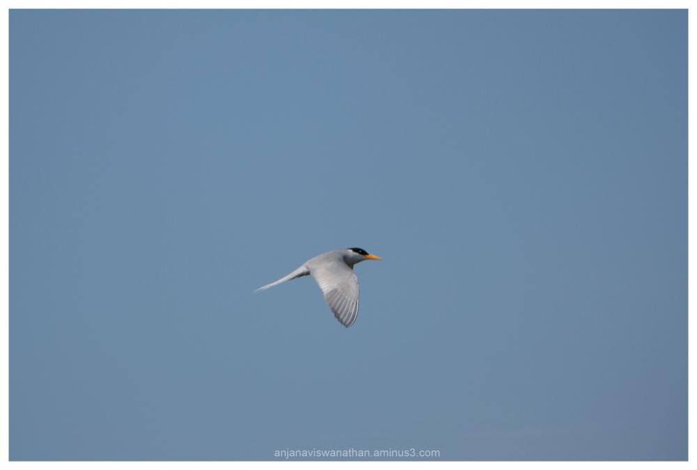 lesser crested tern