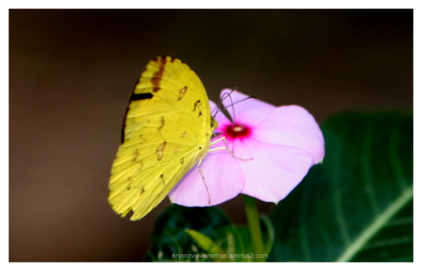 Common Grass Yellow Butterfly