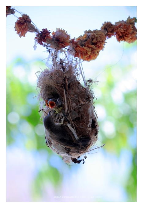 Mother sunbird feeding her babies.