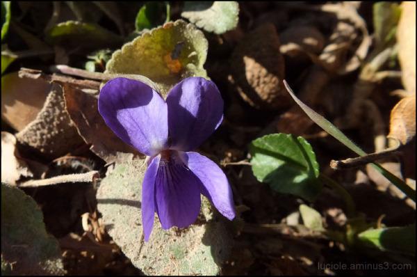 Printemps, violette
