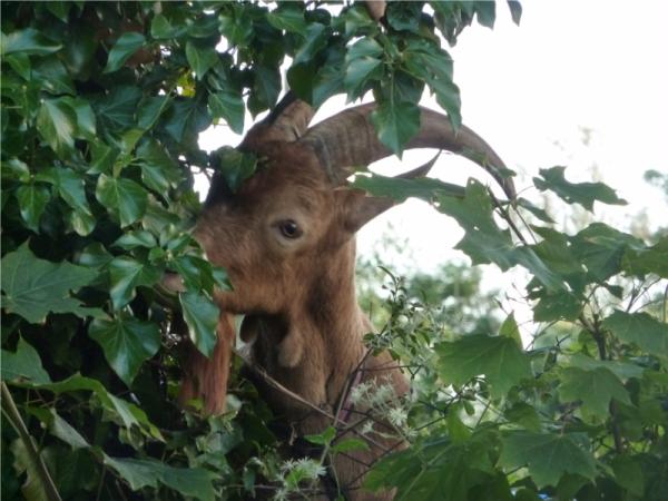 bouc dans les arbres