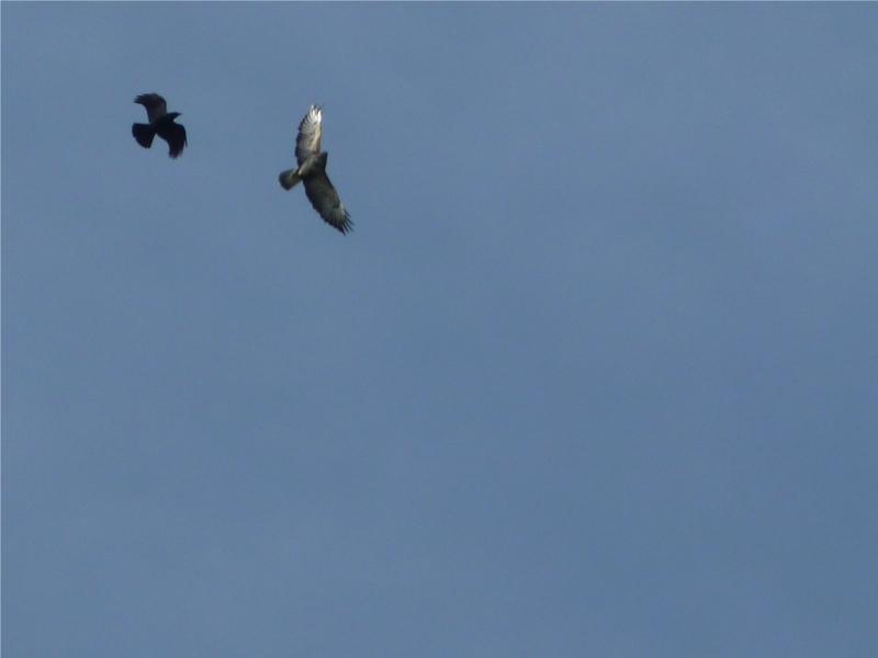 un corbeau embête ma buse